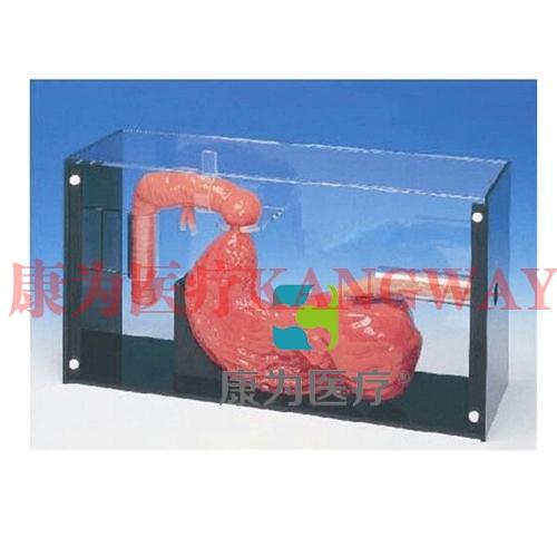 """""""康为医疗""""胃镜及ERCP训练模型 ,胃镜及ERCP操作模型"""