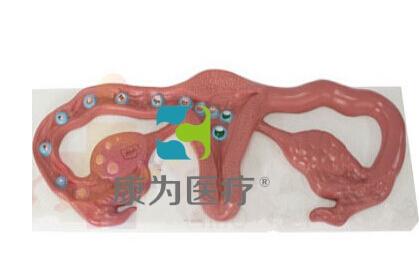 """""""康为医疗""""卵子受精着床过程模型,受精卵着床过程模型"""