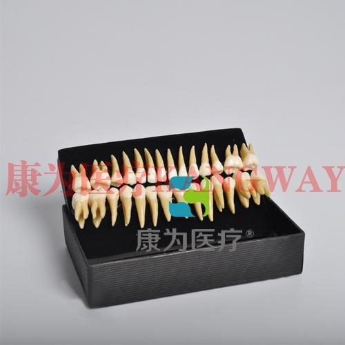 """""""康为医疗""""双色恒牙模型(自然大)"""