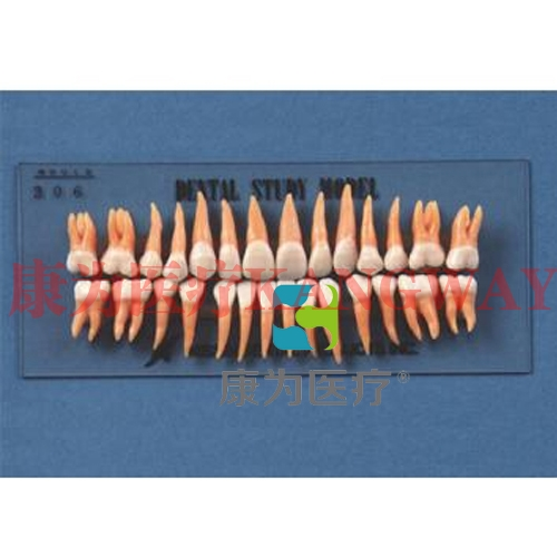 """""""康为医疗""""复制恒牙模型(B2-306)"""