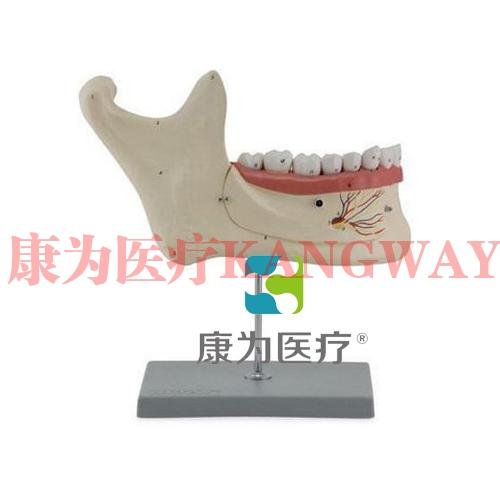 """""""康为医疗""""下颌恒牙解剖 (自然大)"""