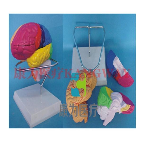 """""""康为医疗""""自然大脑着色模型 3部件"""