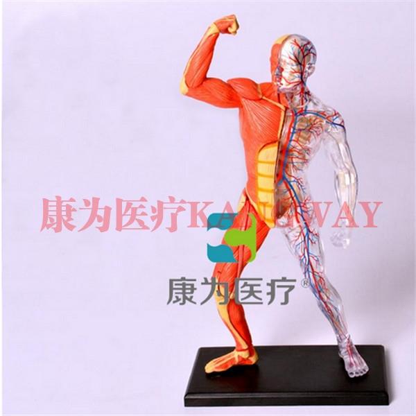 """""""康为医疗""""微型解剖模型"""