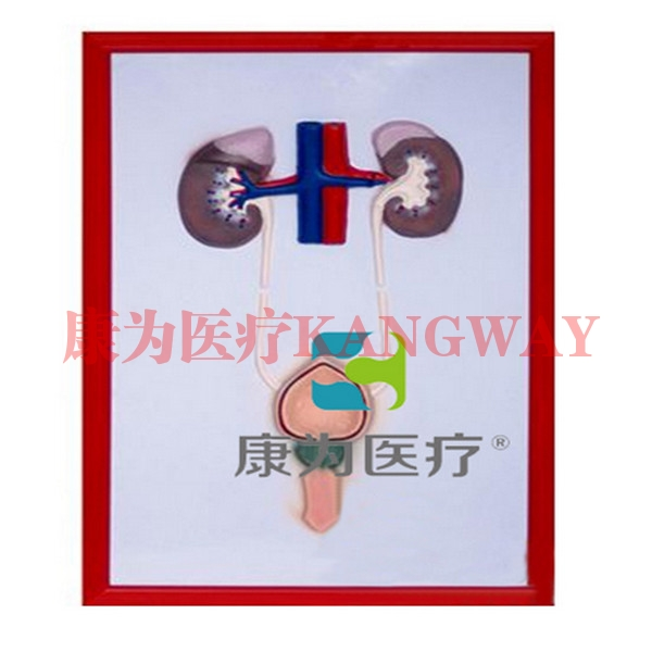 """""""康为医疗""""泌尿系统浮雕模型"""