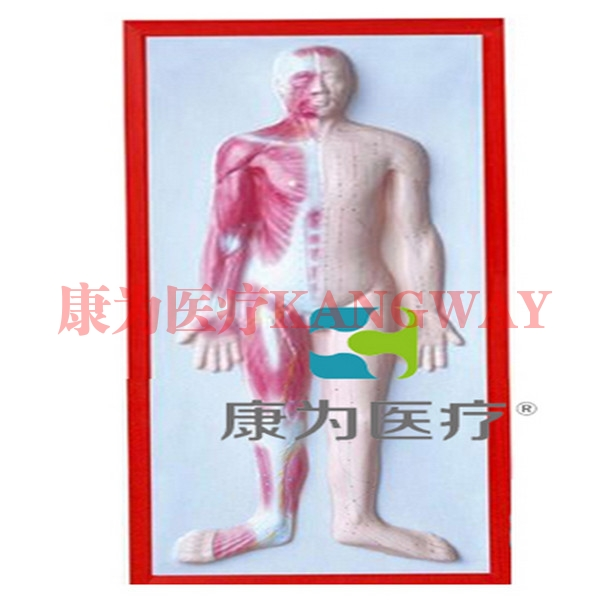 """""""康为医疗""""人体肌肉浮雕模型"""