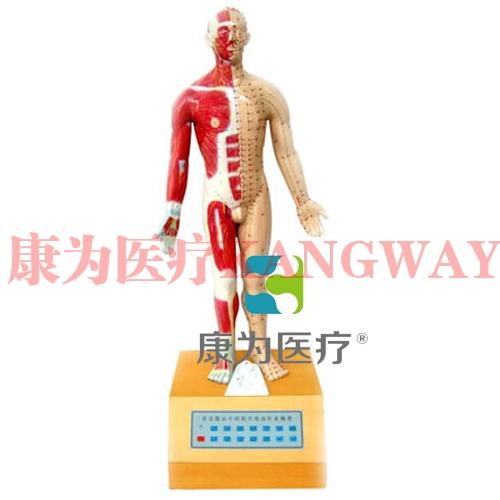 """""""康为医疗""""十四经穴电动针炙模型"""