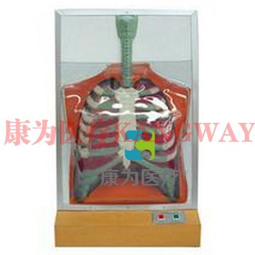 """""""康为医疗""""人体呼吸运动电动模型"""