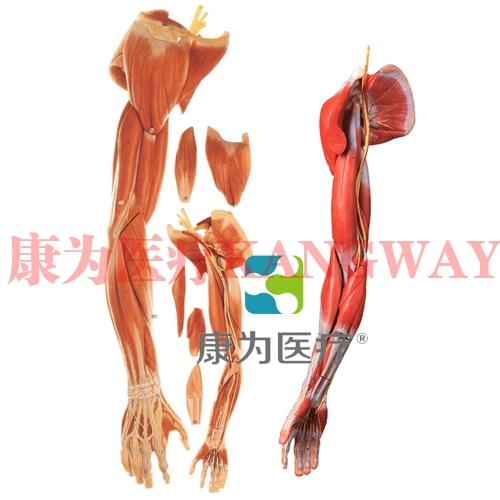 """""""康为医疗""""上肢肌肉附血管神经模型"""