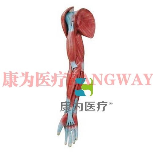 """""""康为医疗""""上肢肌肉解剖模型"""