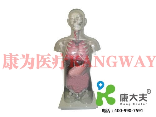 """""""康为医疗""""头颈躯干骨、骨盆与内脏关系附透明躯壳模型"""