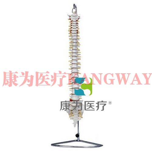 """""""康为医疗""""自然大脊柱骨模型"""
