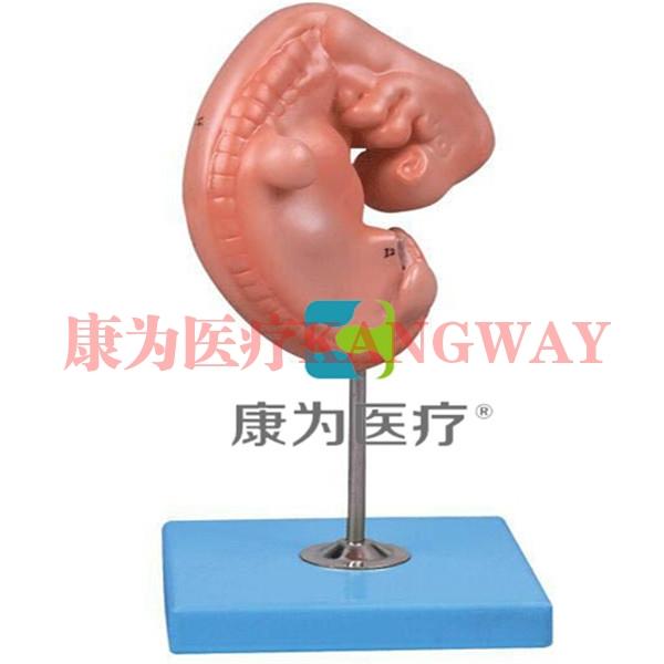 """""""康为医疗""""胚胎放大模型"""