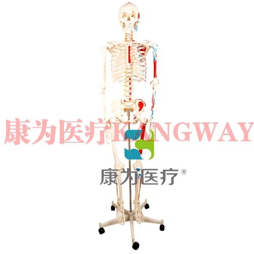 """""""康为医疗""""人体骨骼半边肌肉着色模型"""