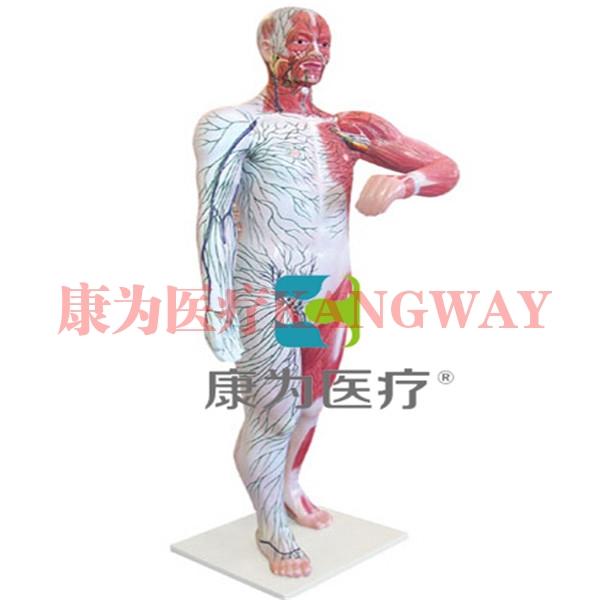 """""""康为医疗""""人体浅层淋巴和浅静脉分布"""