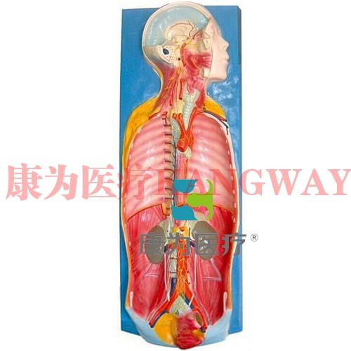 """""""康为医疗""""自主神经解剖模型"""