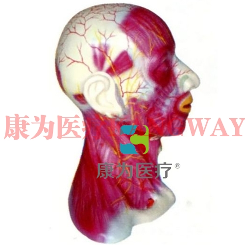 """""""康为医疗""""头颈部中层解剖模型"""