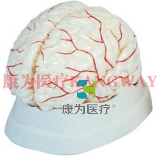"""""""康为医疗""""脑动脉模型(脑(带血管)模型)"""