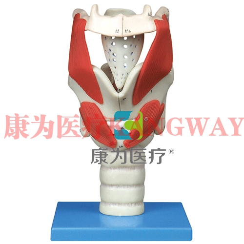 """""""康为医疗""""喉结构与功能放大模型"""
