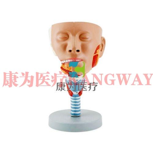 """""""康为医疗""""头示咽肌模型"""