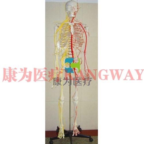"""""""康为医疗""""成人骨骼附神经血管模型"""