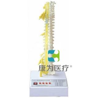 """""""康为医疗""""脊柱骨与脊神经关系电动模型"""