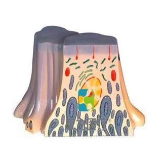 """""""康为医疗""""肾脏近曲小臂上皮细胞的超微结构"""