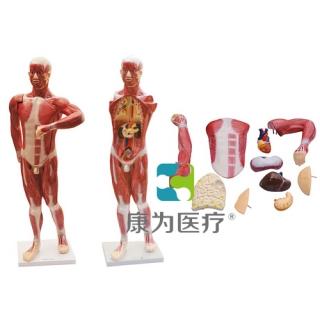 """""""康为医疗""""人体肌肉及胸腹腔脏器解剖模型"""