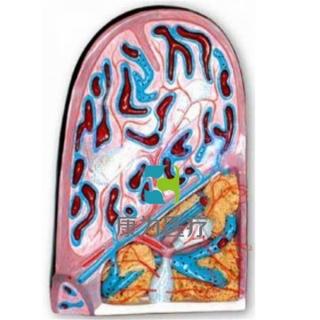 """""""康为医疗""""脾脏结构模型"""