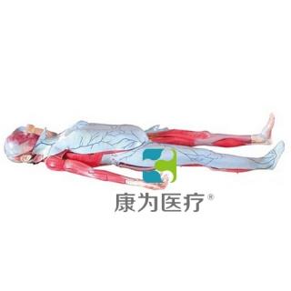 """""""康为医疗""""姜式人体层次解剖模型"""