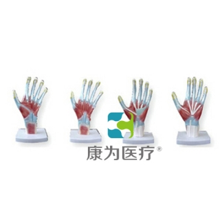 """""""康为医疗""""手掌解剖模型"""