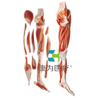 """""""康为医疗""""下肢肌肉附主要血管神经模型"""