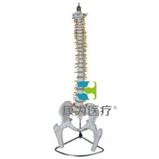 """""""康为医疗""""脊柱、骨盆与股骨头模型"""