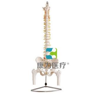 """""""康为医疗""""自然大脊椎附盆骨带半腿骨模型"""