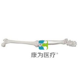 """""""康为医疗""""自然大下肢骨模型"""