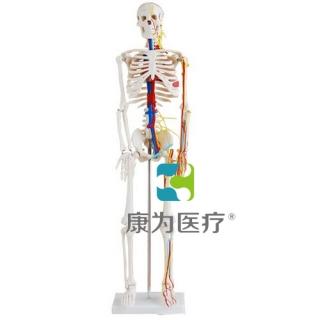 """""""康为医疗""""85CM人体骨骼带心脏与血管模型"""