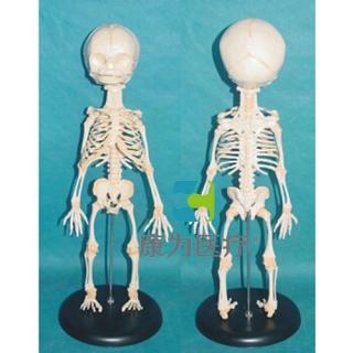 """""""康为医疗""""高级胎儿骨骼模型"""