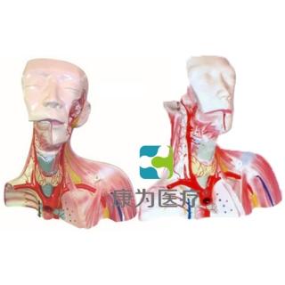 """""""康为医疗""""颅腔及头颈胸局部解剖模型"""