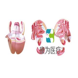 """""""康为医疗""""女性内外生殖器层次解剖模型"""