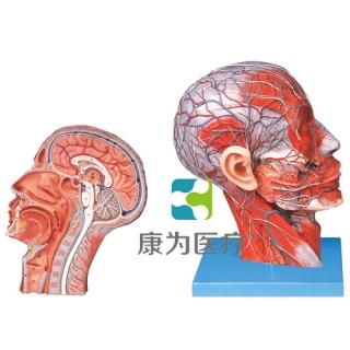 """""""康为医疗""""头颈正中矢状切面附血管神经模型"""
