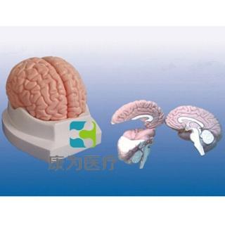 """""""康为医疗""""脑解剖模型"""