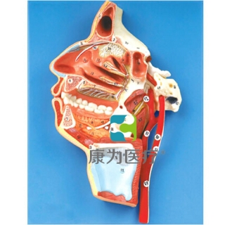 """""""康为医疗""""口、鼻、咽、喉内侧面血管神经模型"""