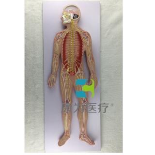 """""""康为医疗""""神经系统模型"""