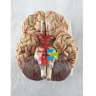 """""""康为医疗""""脑模型"""
