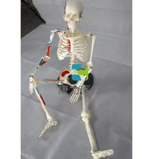 """""""康为医疗""""85cm人体骨骼半边肌肉着色模型"""