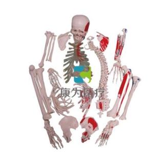 """""""康为医疗""""全身骨骼附肌肉起止点散骨模型"""