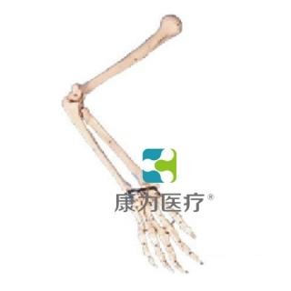 """""""康为医疗""""手臂骨模型"""