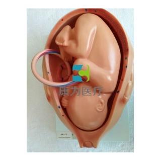 """""""康为医疗""""九个月胚胎模型"""