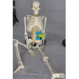"""""""康为医疗""""85cm人体骨骼带脊神经模型"""